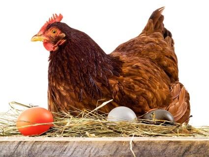 Картинка: В Сколково вывели породу кур, несущих крашеные яйца